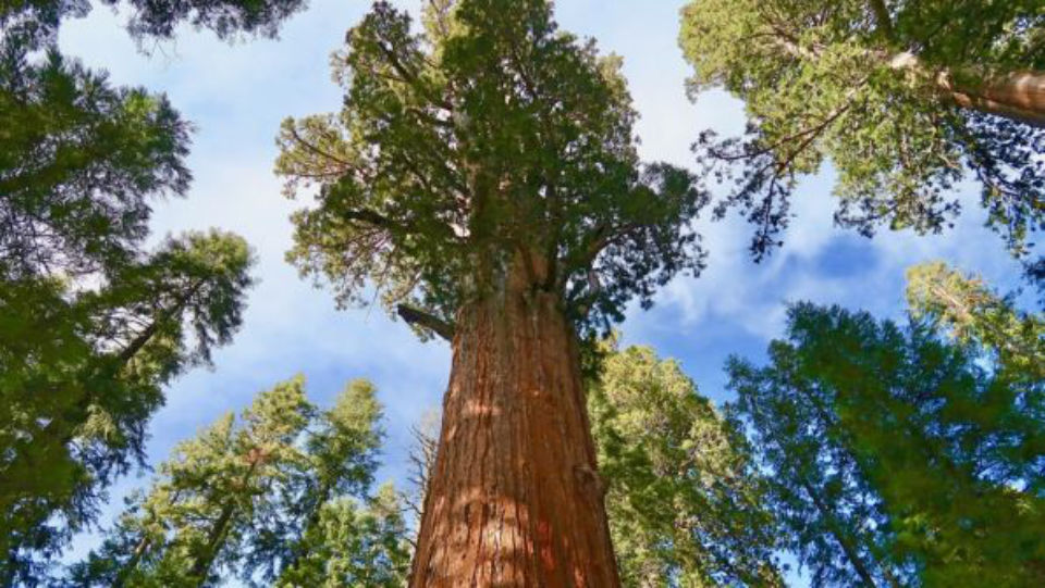 With staunch foundations and ability to adapt to the environment, redwood trees stand for centuries.