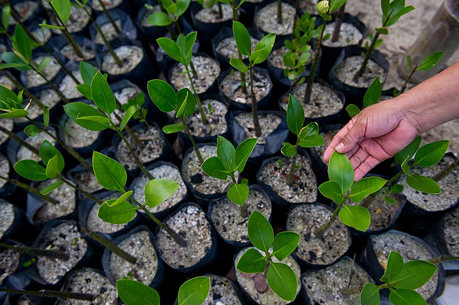 The City Government of Puerto Princesa maintains nurseries of mangrove seedlings to complement the Fisheries Resource Management Project.